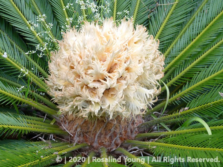 Cycad blooming